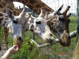 Elmvale Junge Zoo